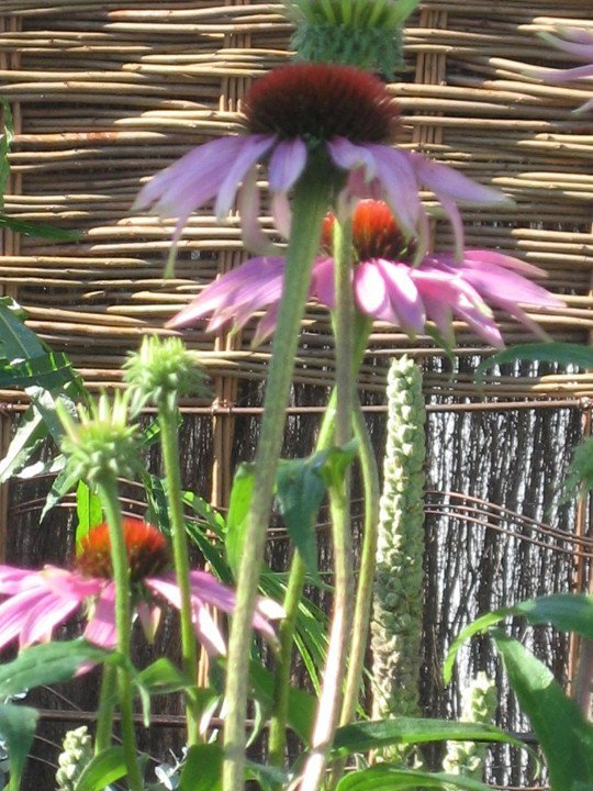 Flowers at Tatton Show garden - Purple Sue