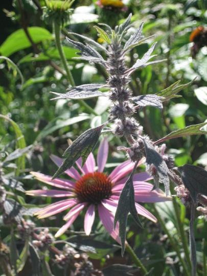 Flowers at Tatton Show garden - Purple Sue
